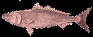 Kahawai (Australian Salmon)
