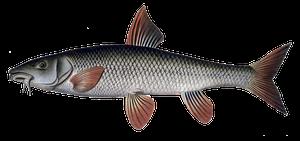 Barbeau Fluviatile