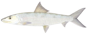 Poisson Banane (Bonefish)
