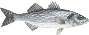 European Bass