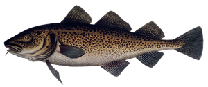 Atlantic Cod (Baltic)