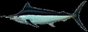 Black Marlin
