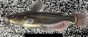 Poisson-Chat (Barbotte Noire)