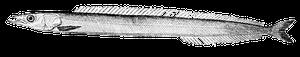 Lancon du Nord