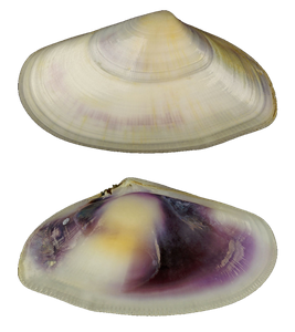 Abrupt Wedge Shell