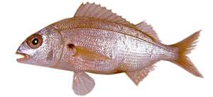 Axillary Seabream