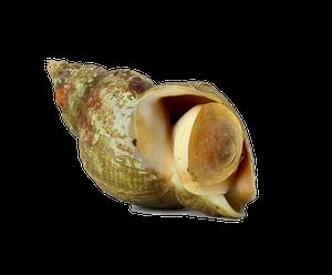 Common Whelk