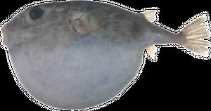 Tétrodon à tête carrée