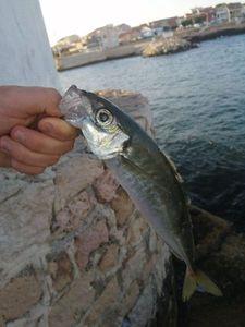 Mediterranean Horse Mackerel