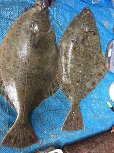 European Plaice — Maryvonne Olivier