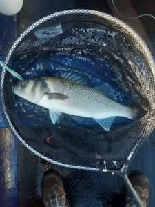 European Bass (Seabass) — Bohdan Piotrowitch