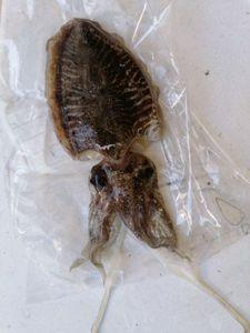 Common Cuttlefish — Gaetan Le Guern
