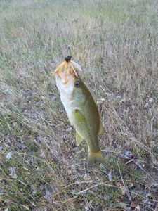 Smallmouth Bass — xavier stoll