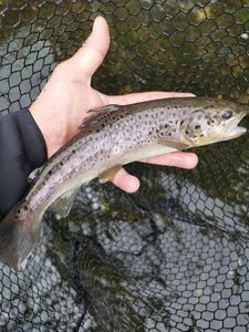 Common Trout — RosKa Fisha