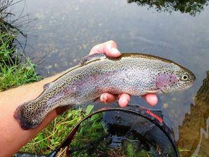 Rainbow Trout — Chris Str