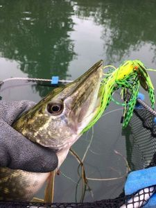 Northern Pike — Olivier fisherman
