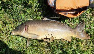 Common Carp — Max Rouget