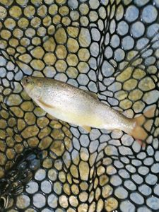 Common Trout — Olivier fiching treize