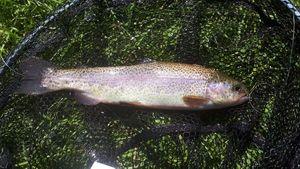 Rainbow Trout — Lucas Granier