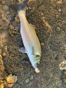 European Bass (Seabass) — Killian Point
