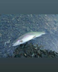 Rainbow Trout — David H