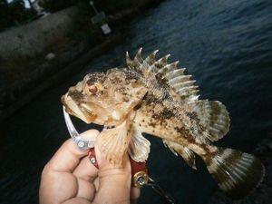 Brown Scorpionfish — Marco Iseppi