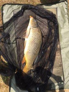 Common Carp — Simon Dolbois