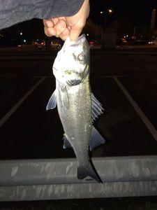 European Bass (Seabass) — Nanouk Lesquimal