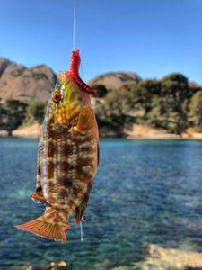 Corkwing Wrasse — Benny Heat