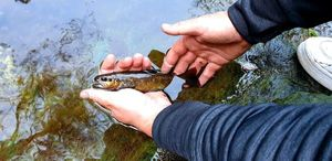 Brown Trout — Ben Benito Rockfishing