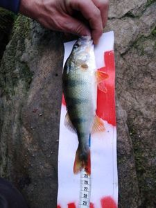 European Perch — Thibault Pontoir