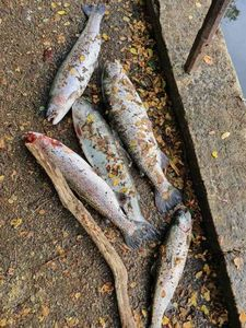 Rainbow Trout — Willy Lafon