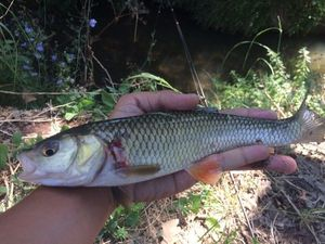 Chub — Fishing Porquerolles