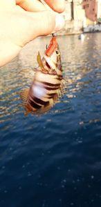 Ballan Wrasse — multifishing
