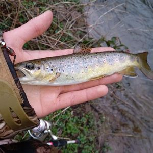 Brown Trout — Quentin Coulonval