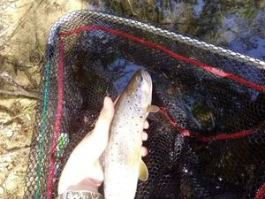 Brown Trout — Alexis Arrigoni