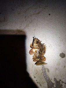 Brown Scorpionfish — Dorian Blanchet
