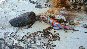 Common Cuttlefish — Ludovic Deligny