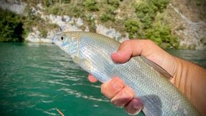 European Whitefish
