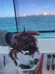 European Spider Crab