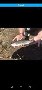 Rainbow Trout — SakuraNinjaZ Fishing