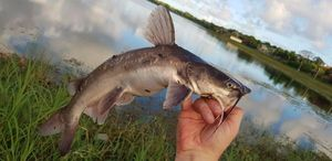Crucifix Sea Catfish — Chris Str
