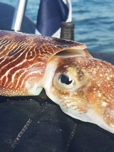 Common Cuttlefish — Tynilla Fishing