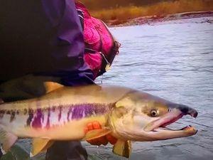 Chum Salmon — Pinsquiccia JJ