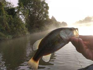 Largemouth Bass — Sébastien Vexieau