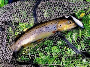 Brown Trout — Arnaud Fishing