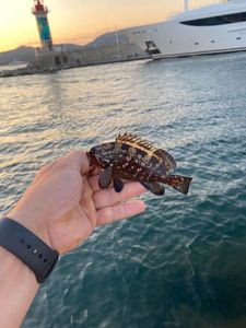 Brown Grouper (Dusky)