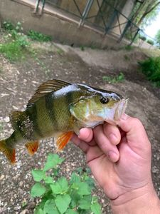European Perch — Jean-Fr. Mat