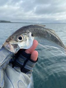 Greenback Horse Mackerel