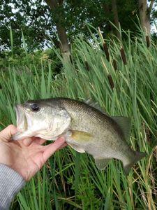 Largemouth Bass — Joseph Gonnord